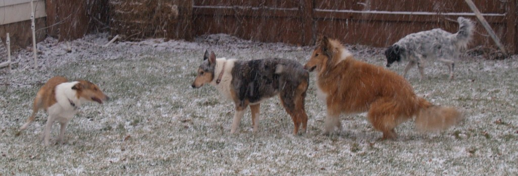 Collies and Border Collie