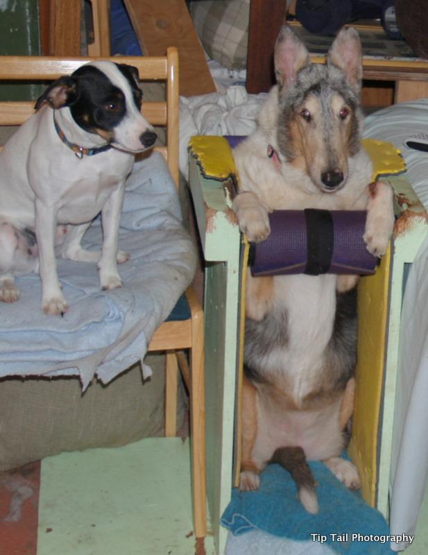 megaesophagus dog