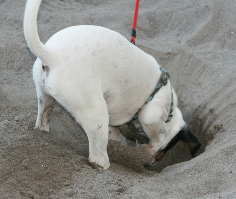 Danish-Swedish Farmdog