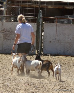 Danish-Swedish Farmdog Herding