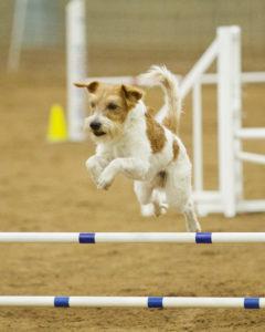 Kromfohrlander Jumping