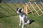 Danish-Swedish Farmdog Dog Show